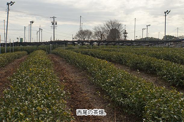 西尾市の茶畑