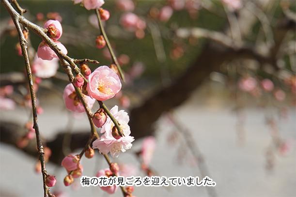 岩津天満宮の梅