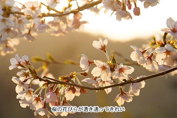 てんてんゴー渋川キャンプ場 早朝の桜