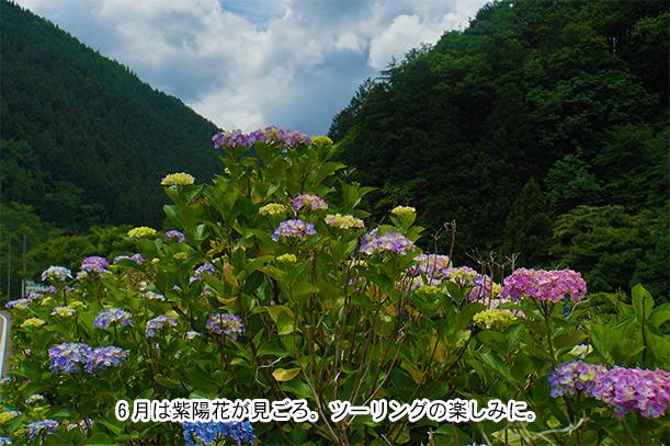 せせらぎ街道初夏の紫陽花