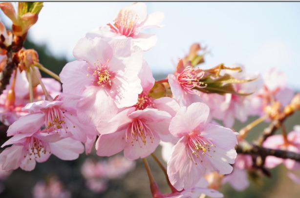 37-6早朝の桜