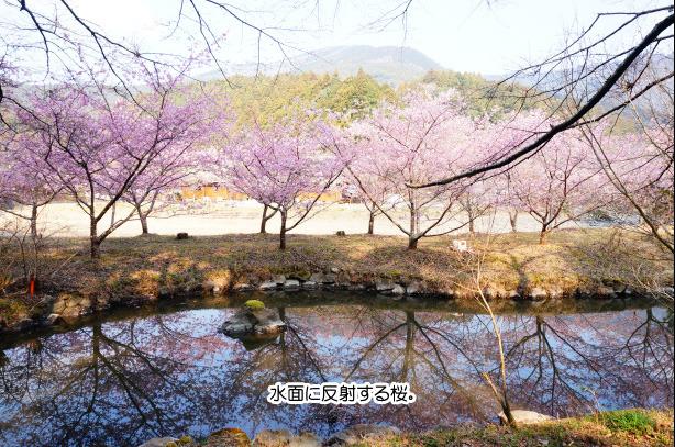 37-7桜の前の池作った人すごい