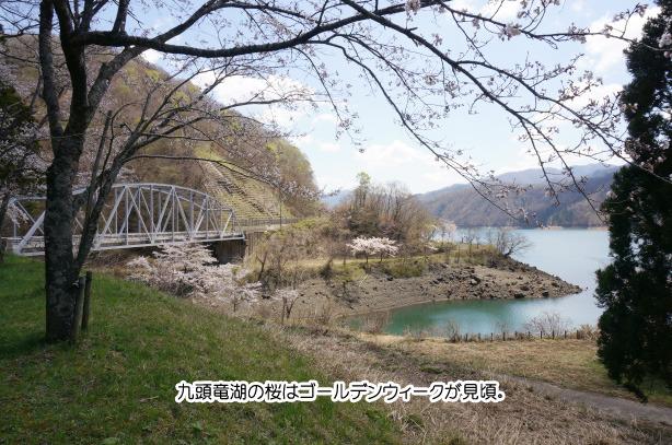 九頭竜湖 桜