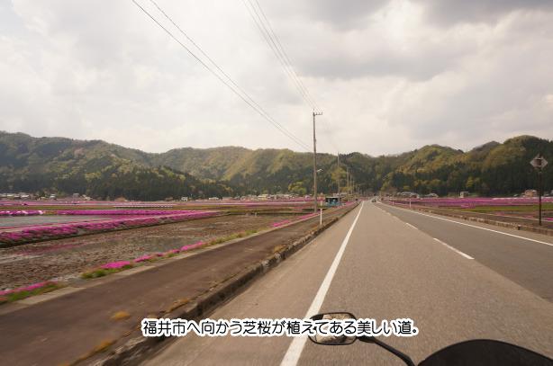 国道158 芝桜