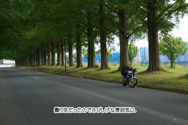 47-10 メタセコイア並木