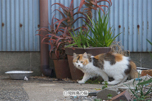 日間賀島の猫