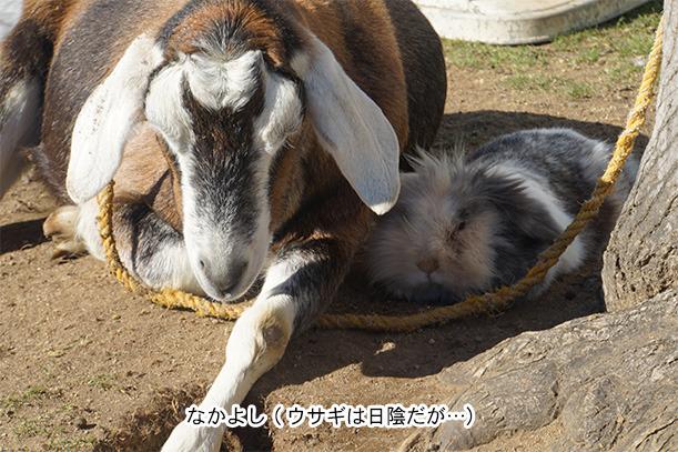 牧歌の里 ヤギとウサギ