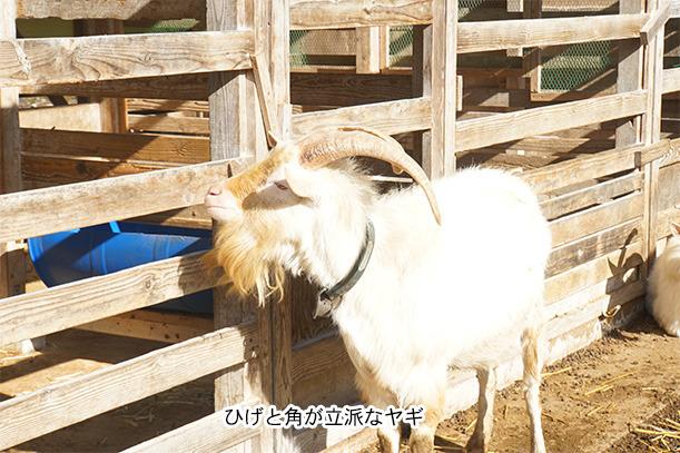 コケコッコ村のヤギ