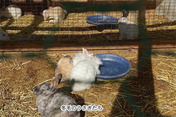 コケコッコ村のウサギ